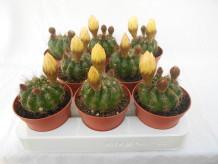 Notocactus ottonis 8,5cm 018